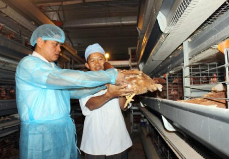 Sau lô gà Việt đầu tiên đi Nhật, tiềm năng xuất khẩu rộng mở.